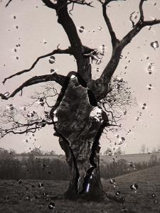 El árbol de Rosa